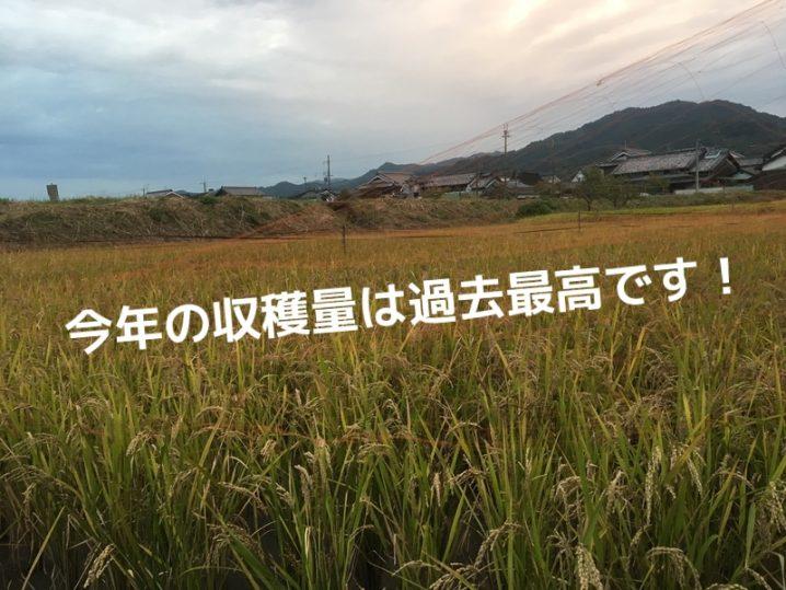 古代米 収穫